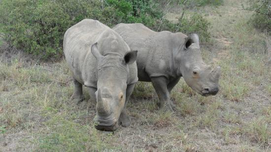 Wendy's Country Lodge: Two young rhinos