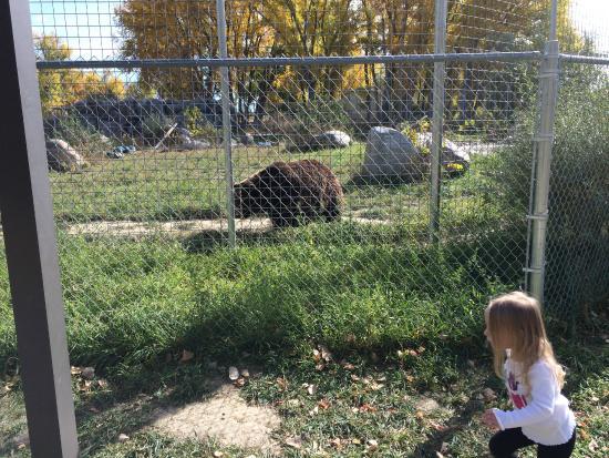 ZooMontana: pacing bear