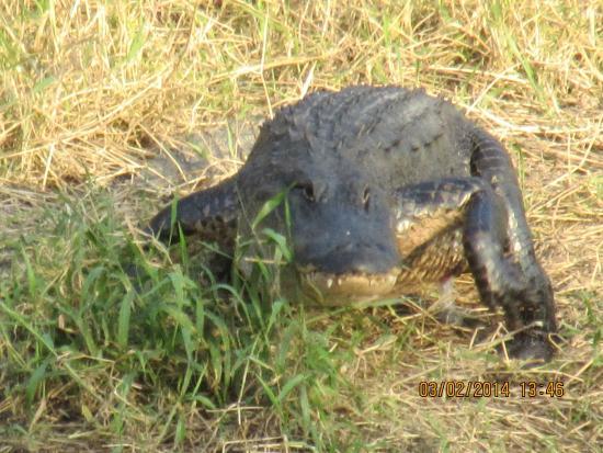 Myakka River State Park: Myakka gator