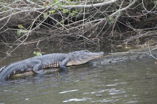 River Lilly Cruises: Alligator