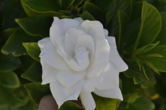 Inn at Tilton Place: The gardenia that was in bloom along the walkway