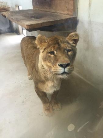 Zoo de Servion : lion à l'intérieur