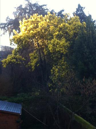 Coeur De Loire : Le mimosa du voisin vu de ma chambre