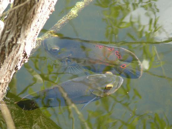 Everglades City, FL: je n'ai pas reussi identifier ce poisson,  merci de votre aide