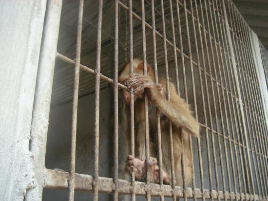 Samui Monkey Theatre: Bophut, Ko Samui, Thailand