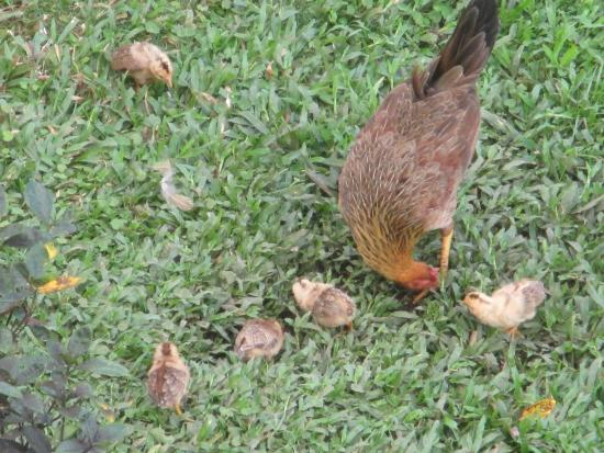 Villa Vueltabajo: For every chicken there is a rooster - wait until dawn!