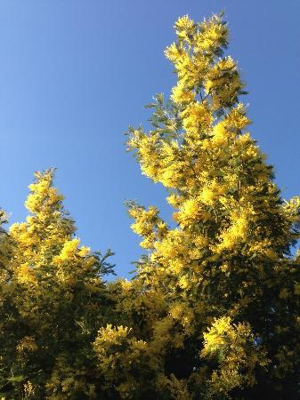 Agriturismo Marzalla: alberi di mimose