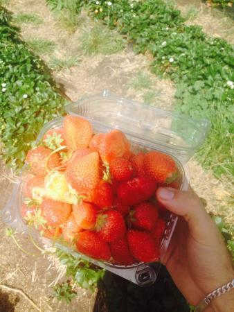 Sorell Fruit Farm: Beautiful strawberries