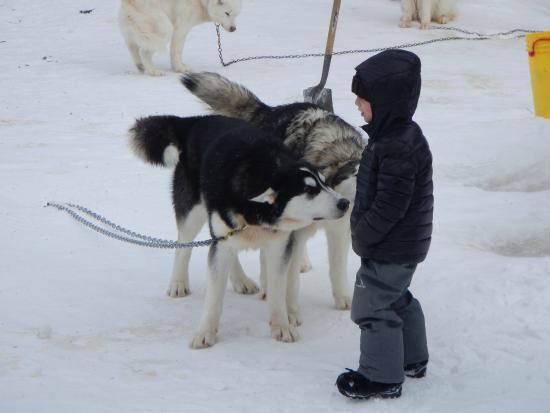 Futur musher - Picture of Entre chien et loup, L'Anse