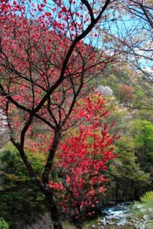 Michi-no-Eki - Meiho : 裏手の桜
