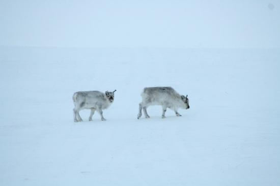 Longyearbyen, Norway: Rein Deer