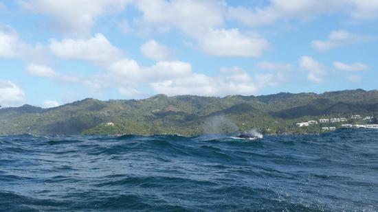 Buckelwale Bild Von Grand Bahia Principe El Portillo Las Terrenas
