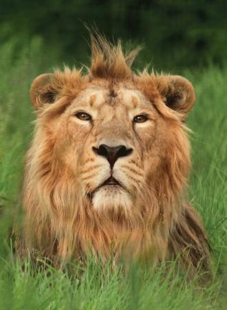 Burford, UK: Rana one of our Asiatic Lions