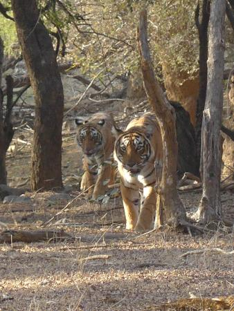 Nahargarh Ranthambhore: And then they casually walked in front of my jeep....