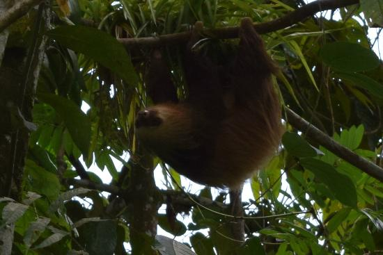 Hacienda Pozo Azul: The sloth we saw at the end of our rafting experience