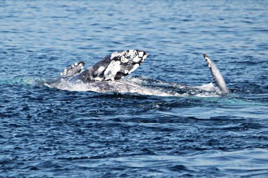 Dana Point, Καλιφόρνια: More mating behavior (flipping, rolling)