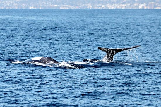 Dana Point, CA: Lots of mating behavior (side by side whales)
