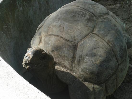 Chalets d'Anse Forbans: one of the nine giant land tortoises