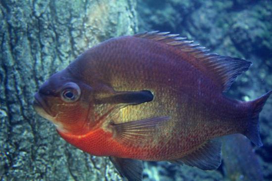 Redbreast sunfish picture of go fish education center for Go fish georgia