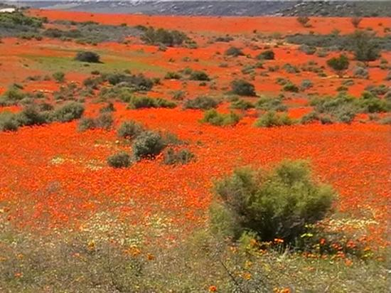 Flight of the Eagle Safaris & Tours: Namaqualand flowers