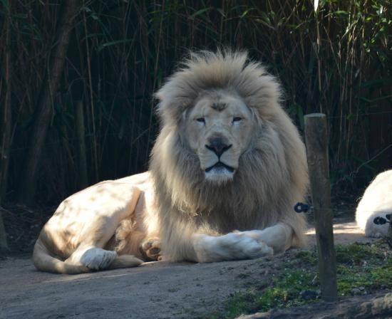 lions blancs picture of zoo de la fleche la fleche. Black Bedroom Furniture Sets. Home Design Ideas