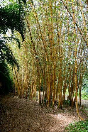 Wai Koa Loop: bamboo trees found within the waterfall location