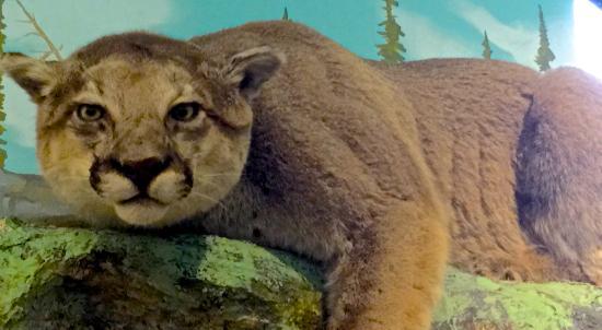 Morrison-Knudsen Nature Center: Love this cougar