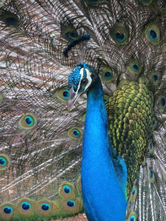 Smith Family Garden Luau: Proud as a Peacock