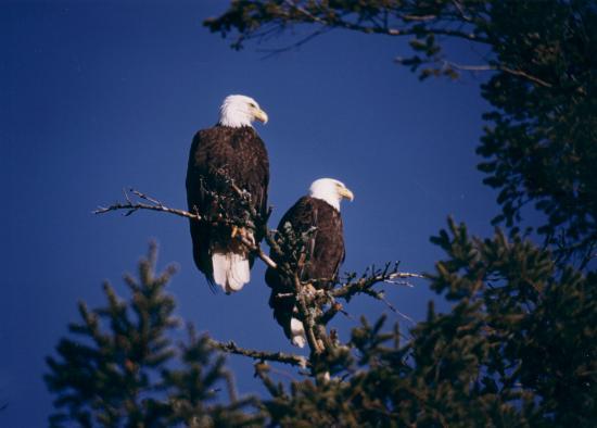 Anchors Inn: Bald Eagles love our trees here at Anchors Inn
