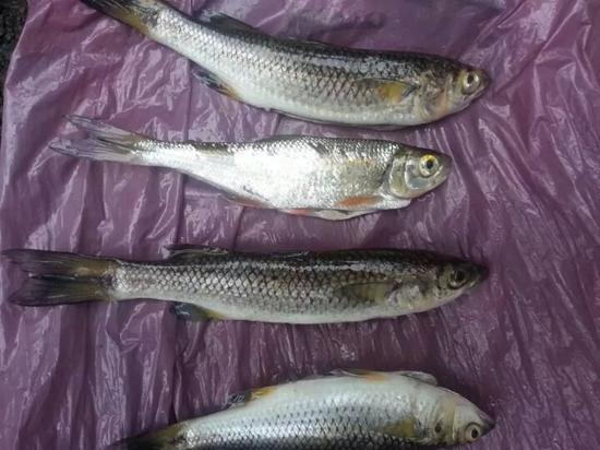 San Carlos Sport Fishing: tarpon feed on these in rio san juan nicaragua