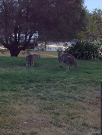 Ibis Styles Canberra Eaglehawk: Kangaroos on the Way to the Restaurant