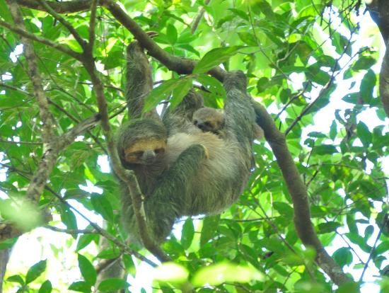 Tree Houses Hotel Costa Rica : Sloths during breakfast