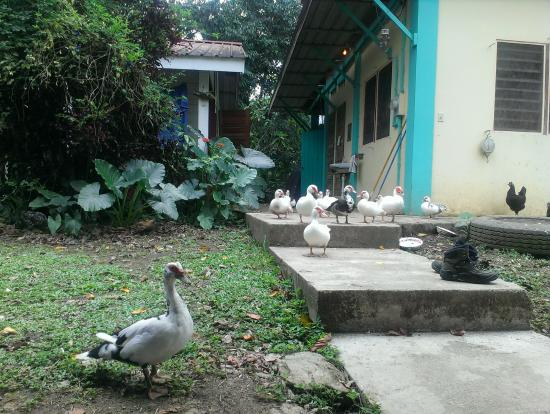 Back-a-Bush Guesthouse: The ducks...