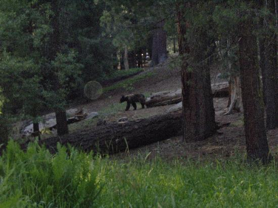 Sunset Campground: Bear traveling fast down into a meadow