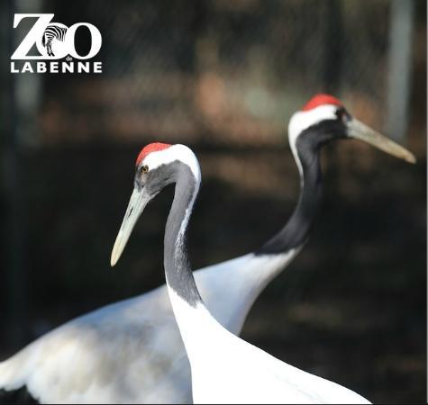 Zoo de Labenne: les majestueuses grues du Japon
