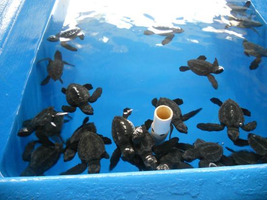 National Mexican Turtle Center (Centro Mexicano de la Tortuga): Baby turtles