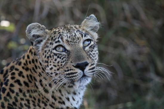 Umdloti, Sudafrica: Gorgeous female Leopard, Greater Kruger Park