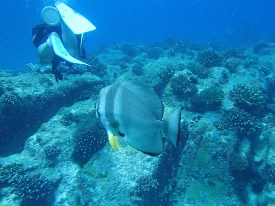 Dive Resort Seychelles: Curious batfish following a diver