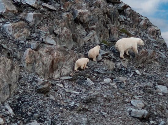 Labrador, Kanada: Polar bears in Torngat Mountains National Park