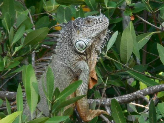 Fajita Republic: Lounge-singing Iguana