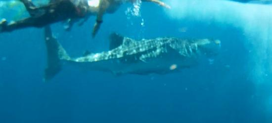 Requin baleine avec dive and relax 23 02 2015 picture of - Dive and relax koh lanta ...