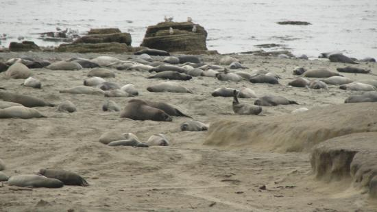 Ano Nuevo Elephant Seal Tours: Elephant seals, March 2015