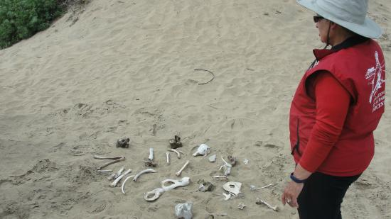 Ano Nuevo Elephant Seal Tours: Volunteer tour guide showing elephant seal bones coyotes pick clean