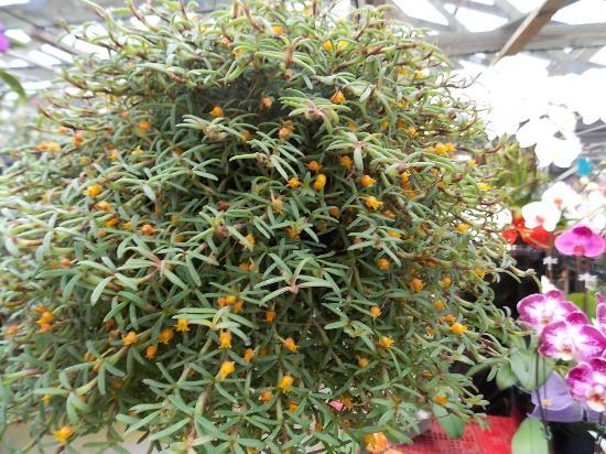 Kawamoto Orchid Nursery: Decoratum