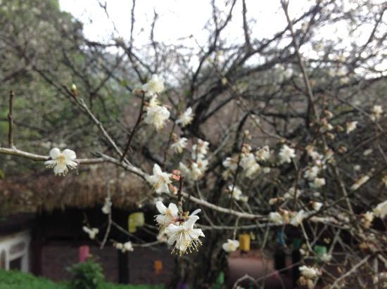 Hoa Binh Province, Vietnam: Hoa mai nở