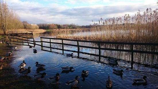 Claremorris, Ireland: Ducks at Clare Lake