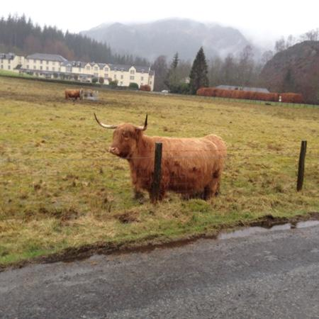 King Tours Scotland - Private Day Tours: A Highland Cow