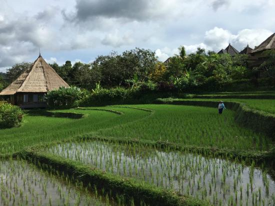 Surya Shanti Villa: Visite des rizières avec le personnel de l'hôtel