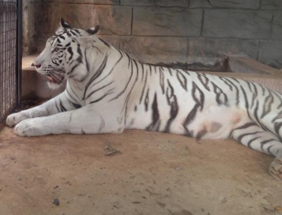 Emperor Valley Zoo: White Bengal tiger mother