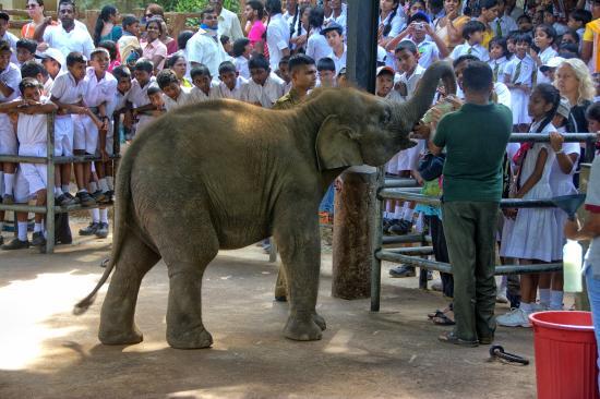 Pinnawala Elephant Orphanage: Small elephants feeding
